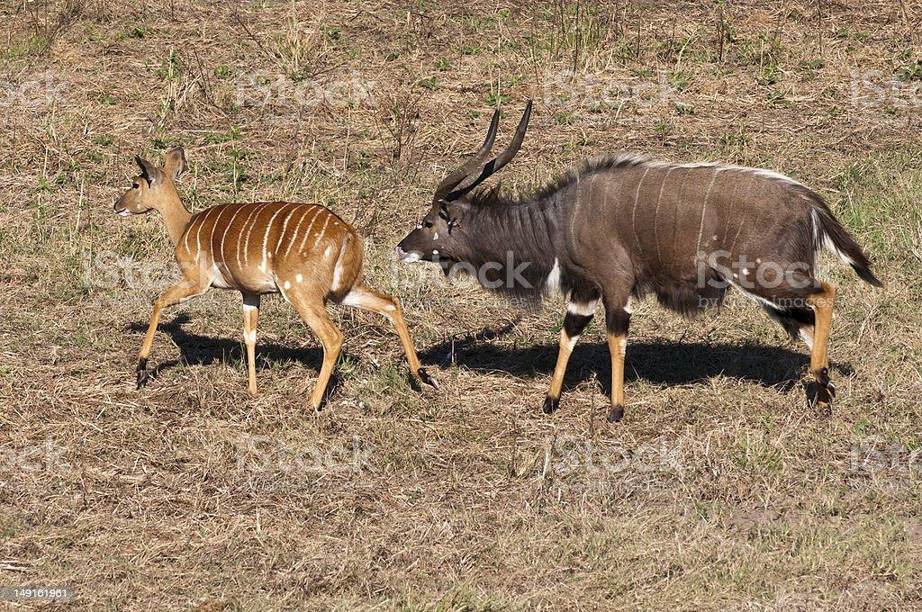 Nyala Antelope in South Africa royalty-free stock photo