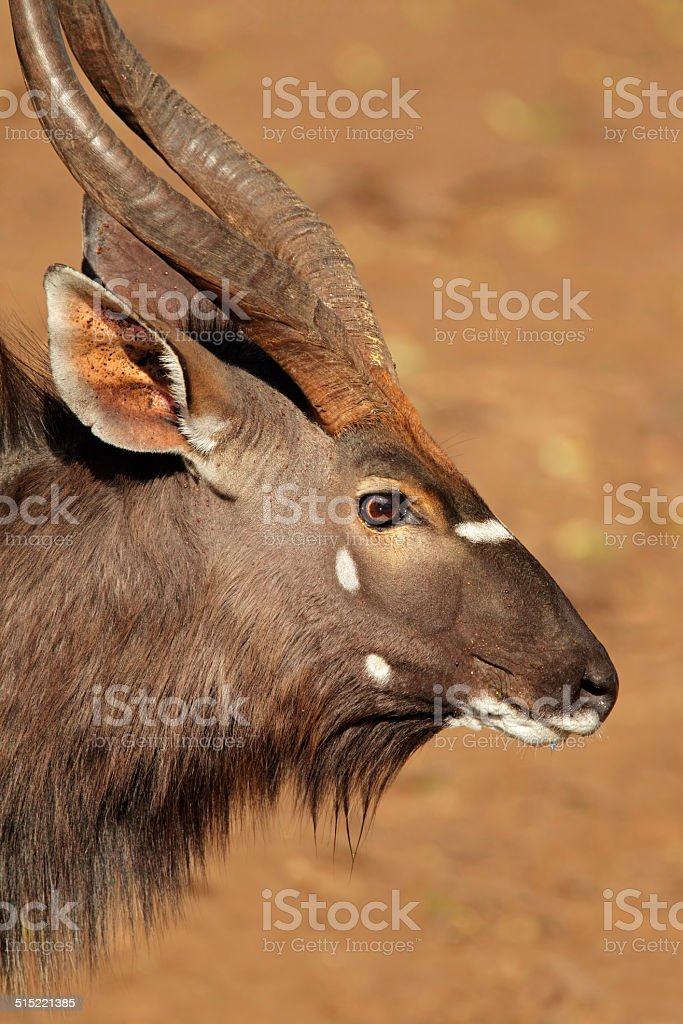 Nyala antelope portrait stock photo
