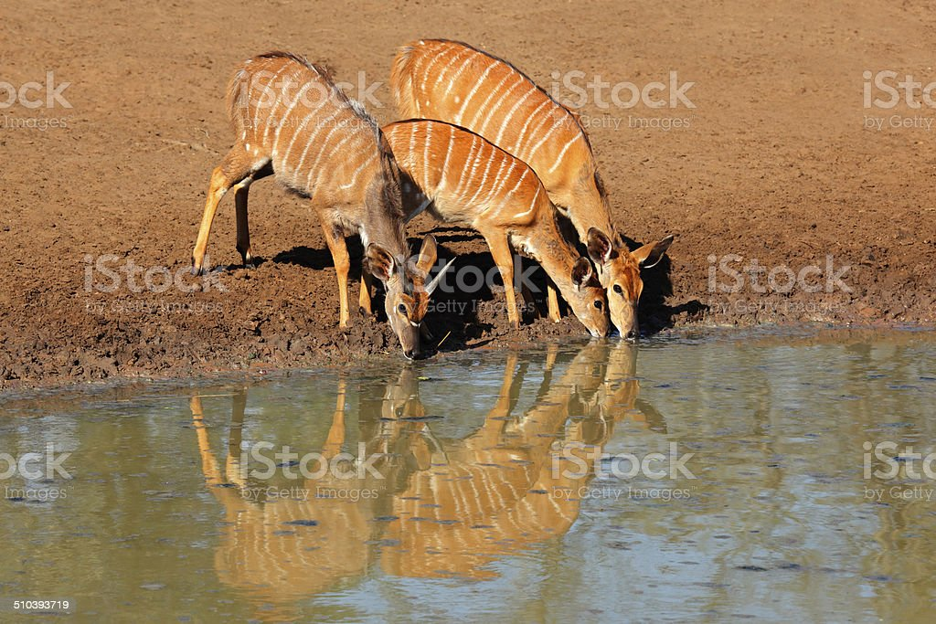 Nyala antelopes drinking stock photo