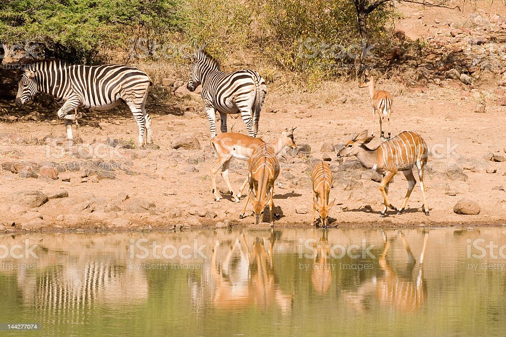 Nyala does drink with zebra in background stock photo