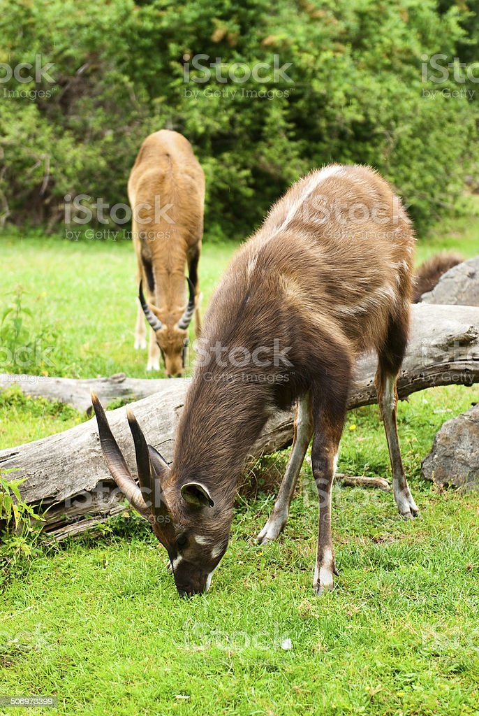 Nyala male buck standing in the forest stock photo