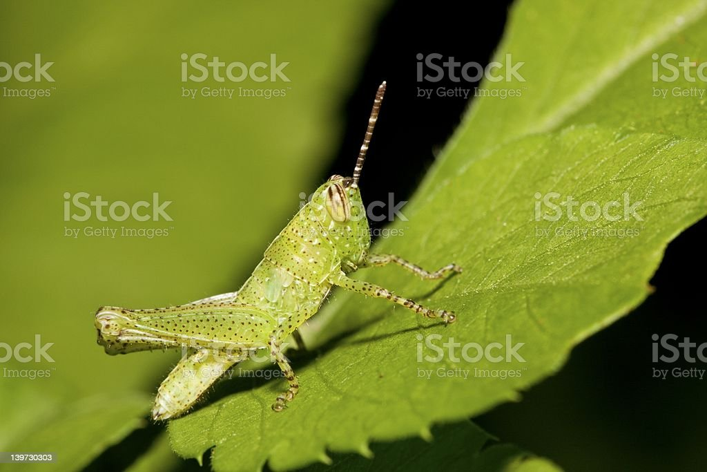 Nymphae of a locust royalty-free stock photo