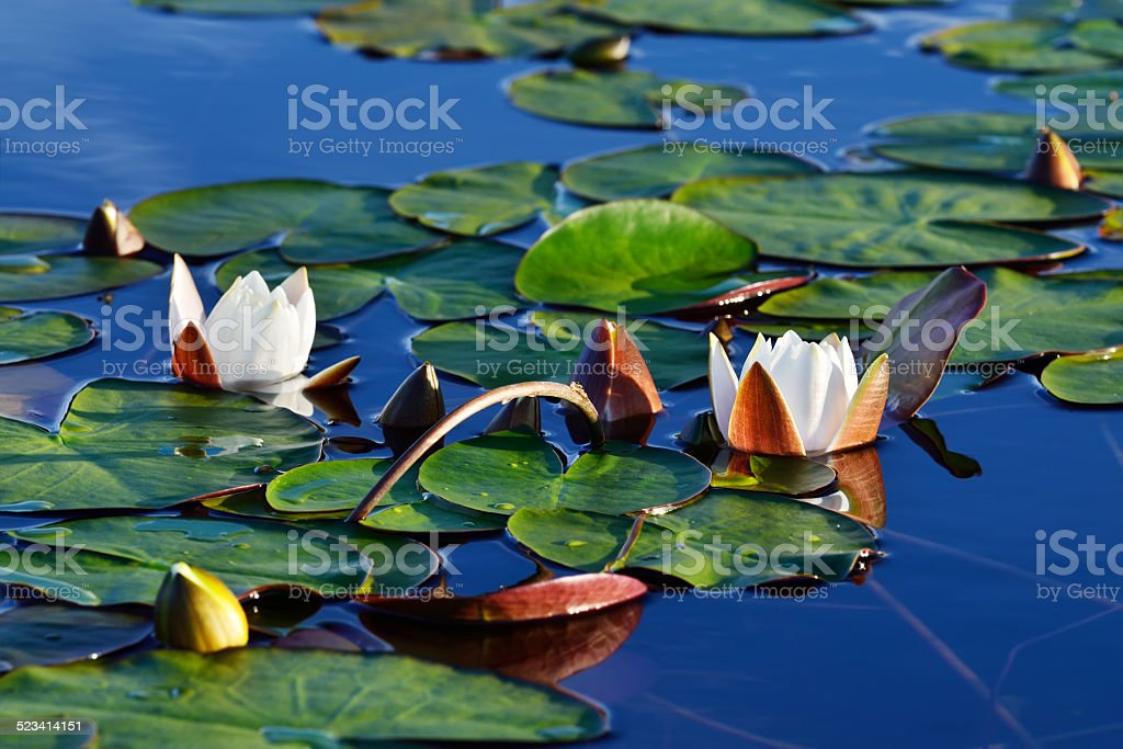 Nymphaea alba (water lily) stock photo
