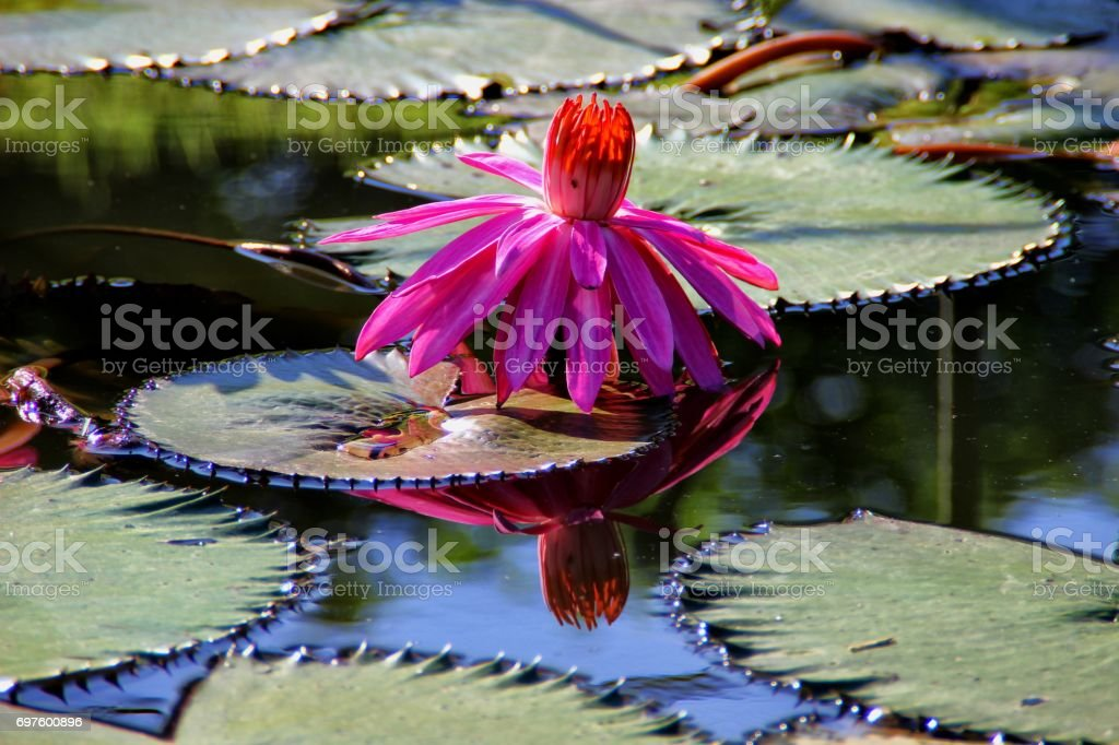 Nymphaea stock photo
