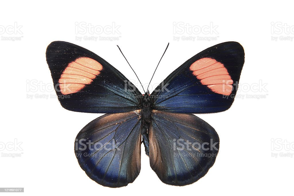 Nymphalidae:Dark blue and red shapes dazzling colorful butterfly royalty-free stock photo