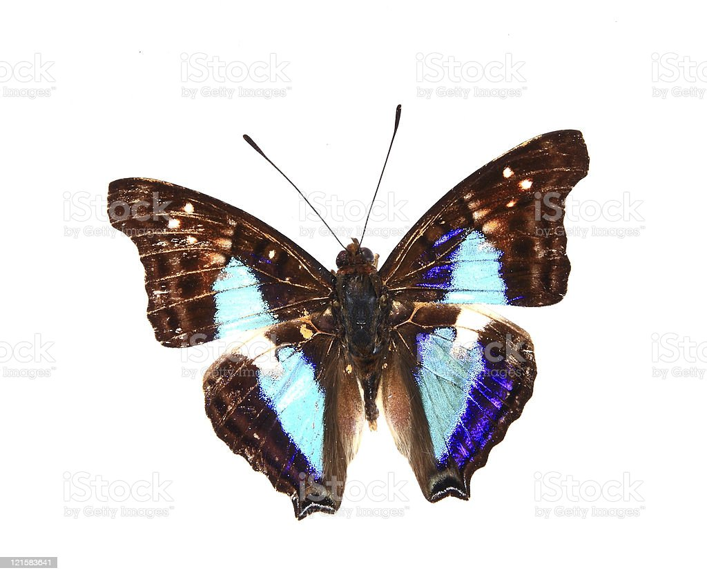 Nymphalidae:Dazzling blue and brown colors of the butterfly royalty-free stock photo