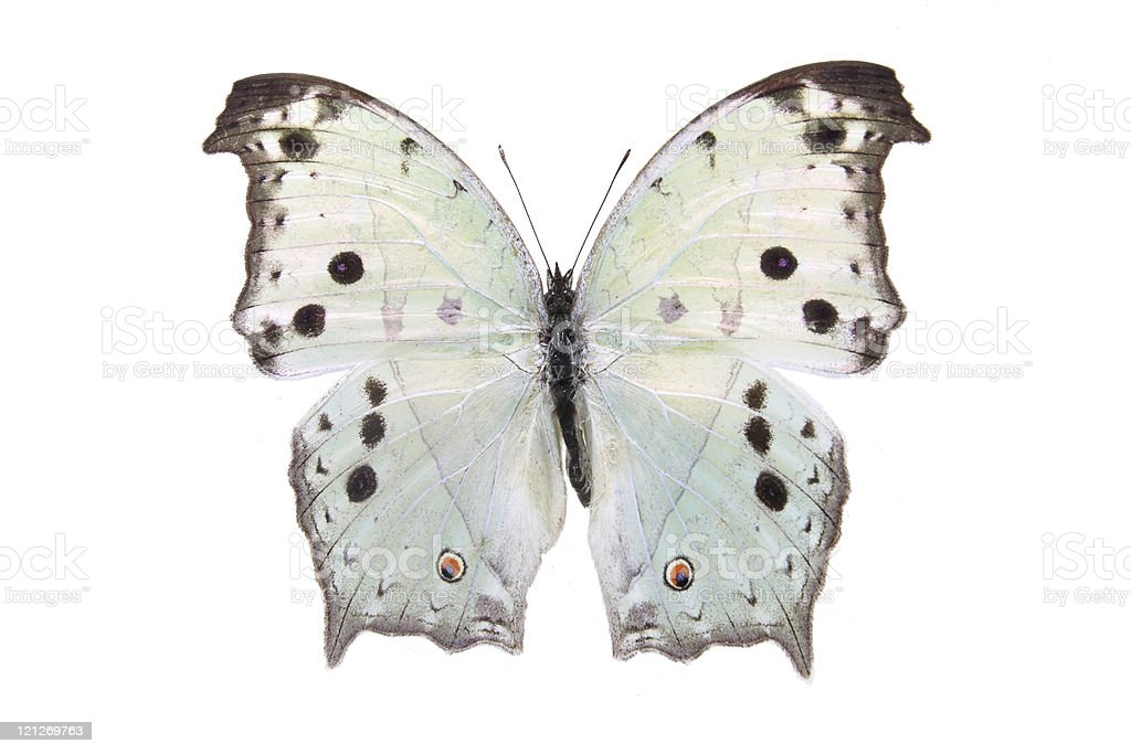 Nymphalidae:Dazzling color butterfly royalty-free stock photo