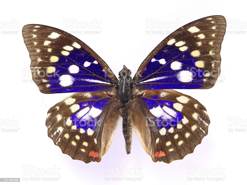 Nymphalidae:Dazzling high-definition color butterfly specimens royalty-free stock photo