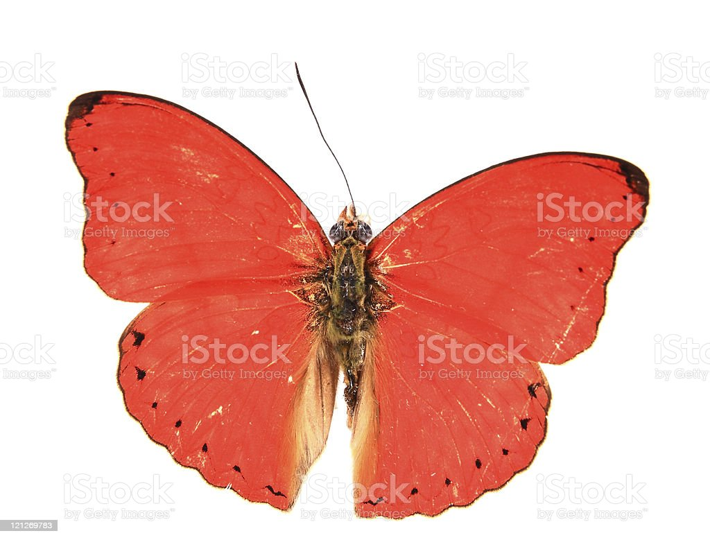 Nymphalidae:Dazzling red butterfly royalty-free stock photo