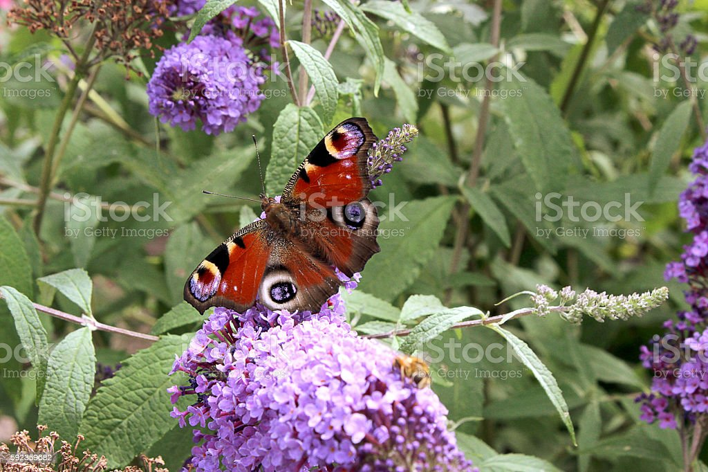 Nymphalinae Butterfly stock photo
