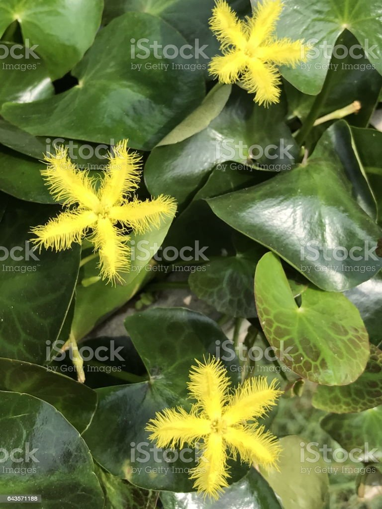 Nymphoides indica or Floatingheart or Water snow flake nymphoides. stock photo