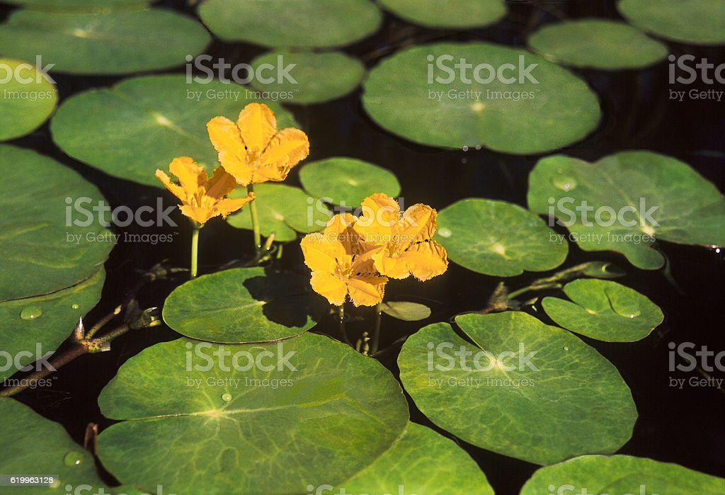 Nymphoides peltata , blooming water,  Astrakhan region, Russia stock photo