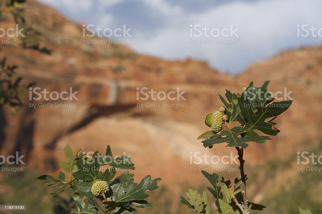 Oak Acorns in Zion National Park royalty-free stock photo