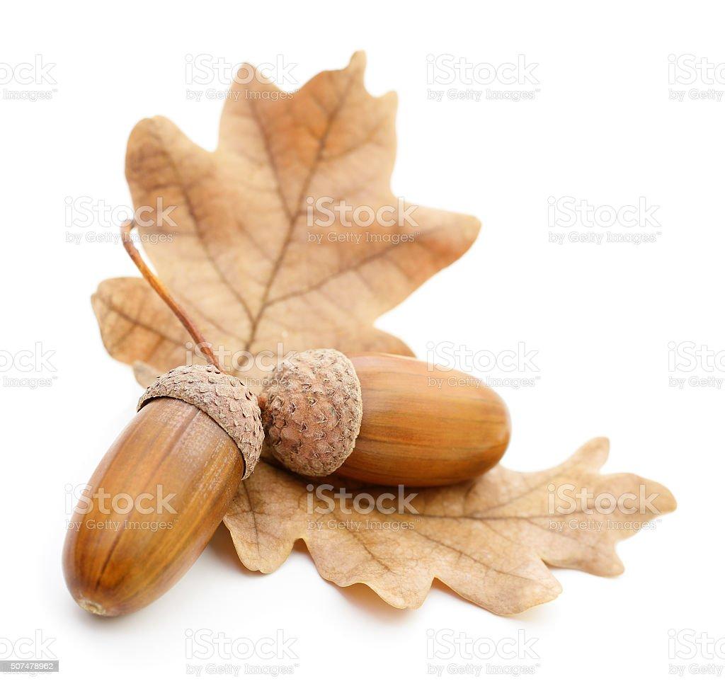 Oak acorns with leaves. stock photo