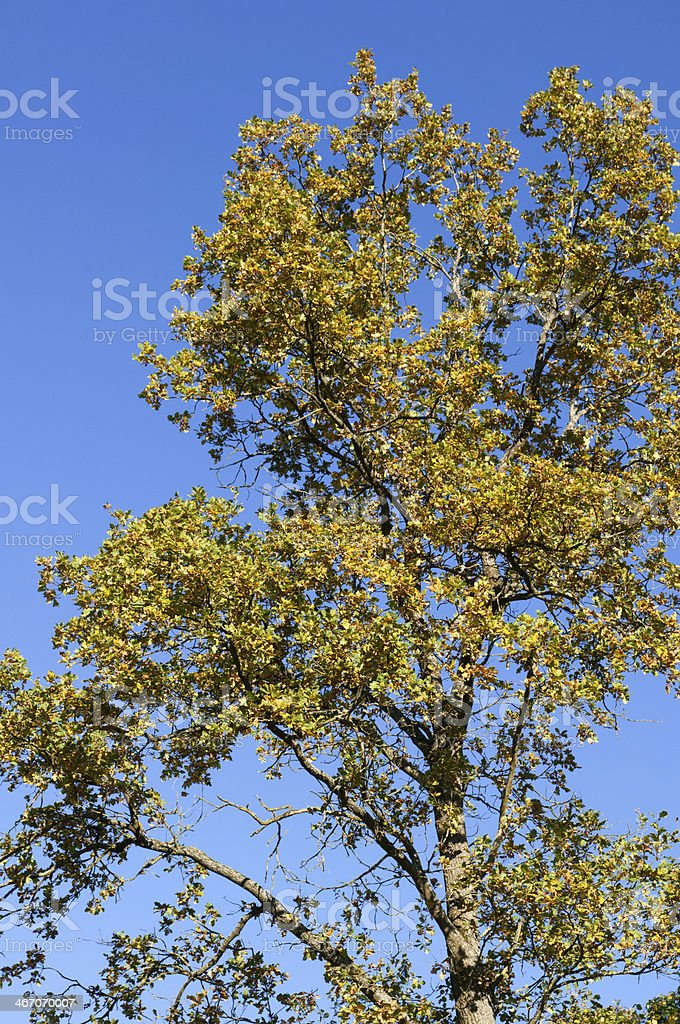 Oak and blue sky, autumn in Germany royalty-free stock photo