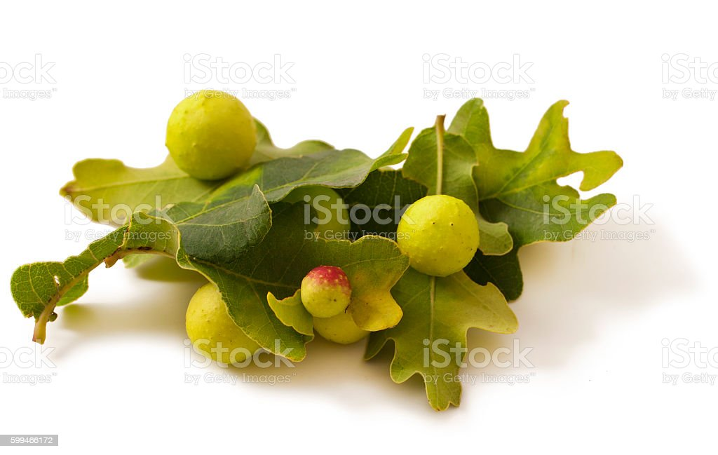 Oak apples on white. stock photo