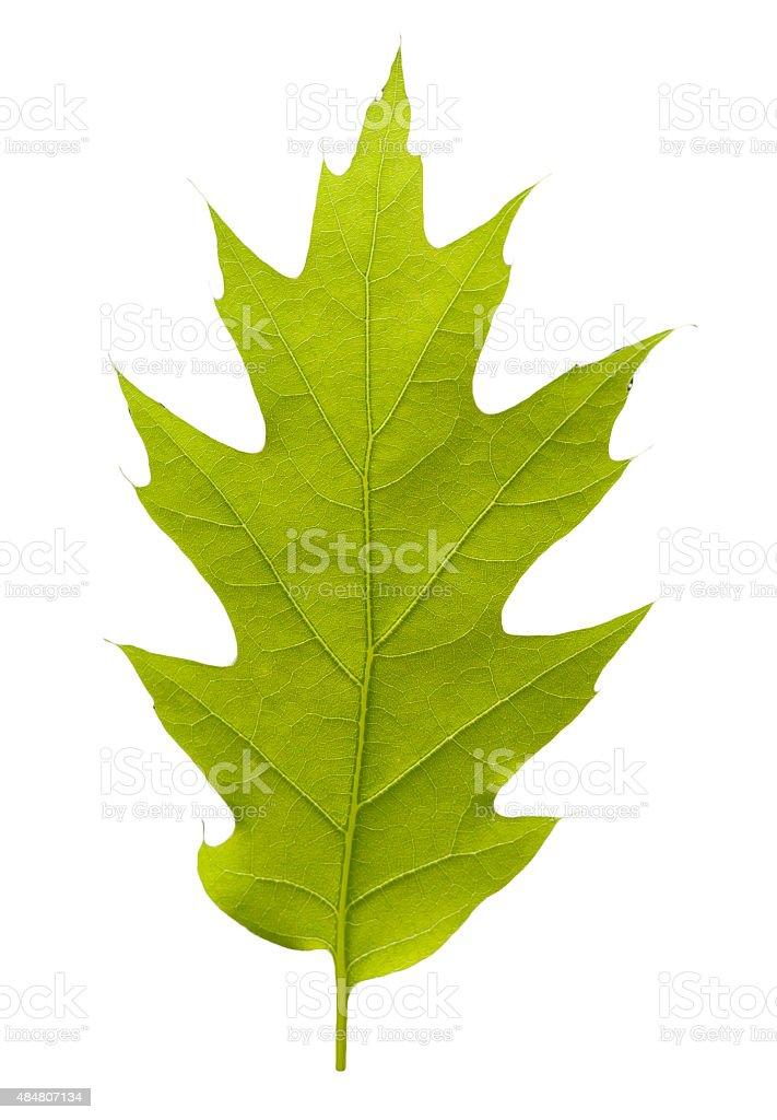 Oak aquifolium stock photo