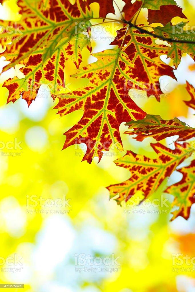 Oak Autumn Leafs royalty-free stock photo