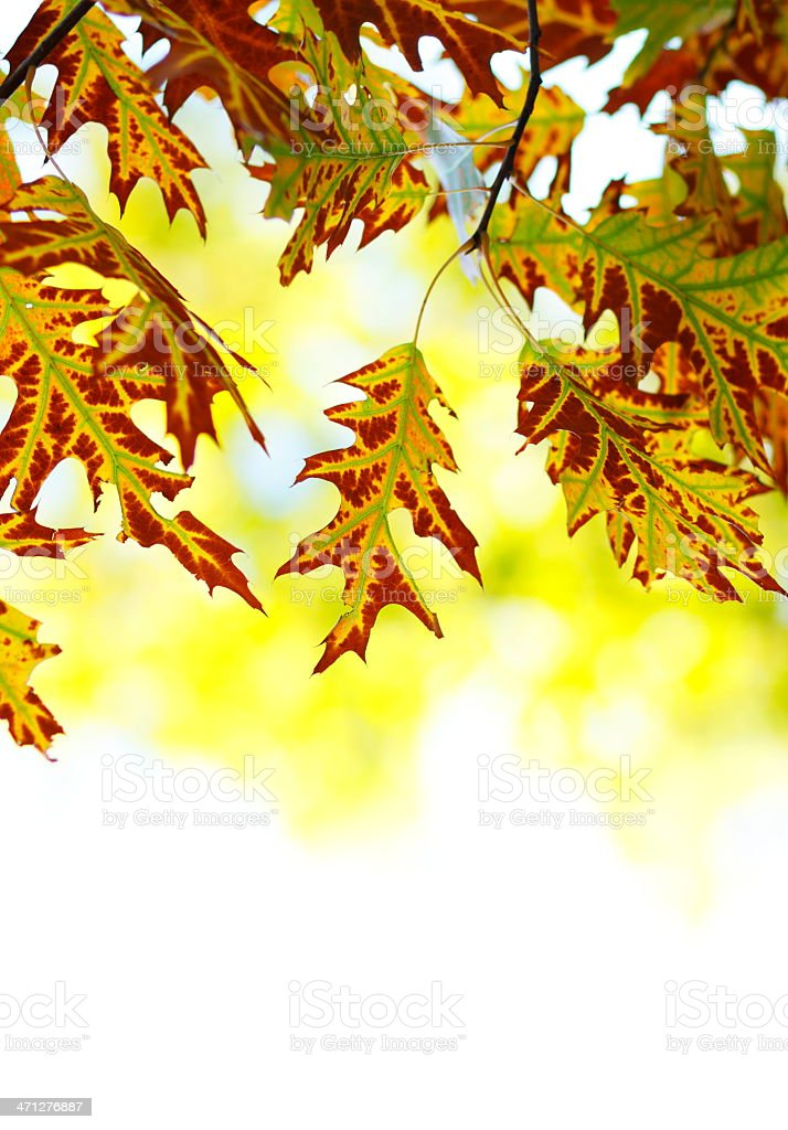 Oak Autumn Leafs royalty-free stock photo