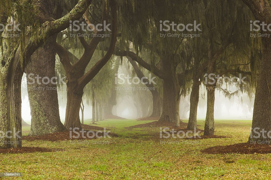 Oak Avenue Mist stock photo