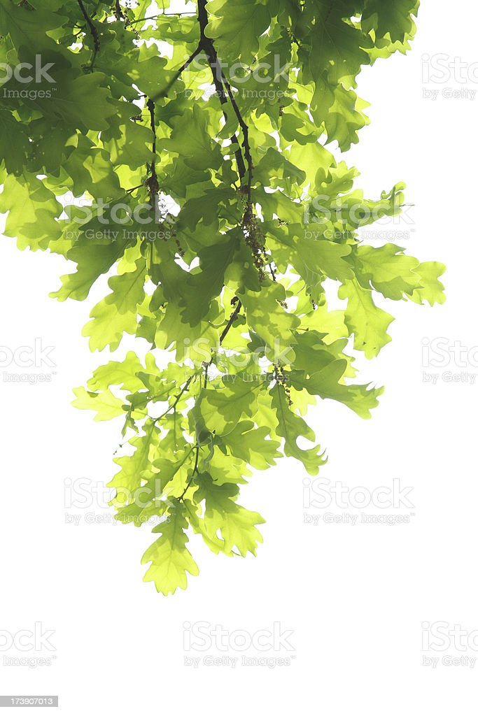 Oak branch with leaves hanging against a white background royalty-free stock photo