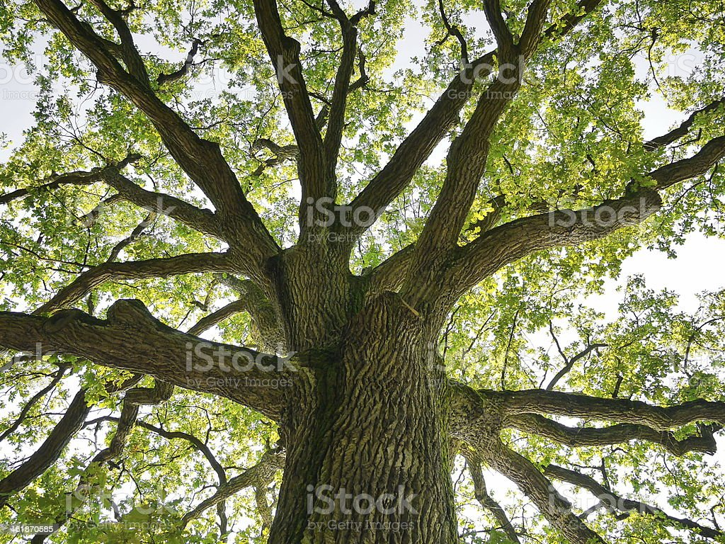 oak crown stock photo
