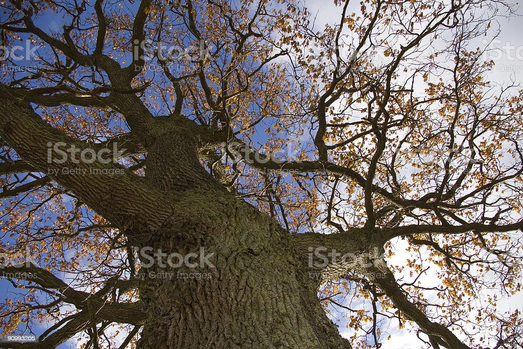 oak from below royalty-free stock photo