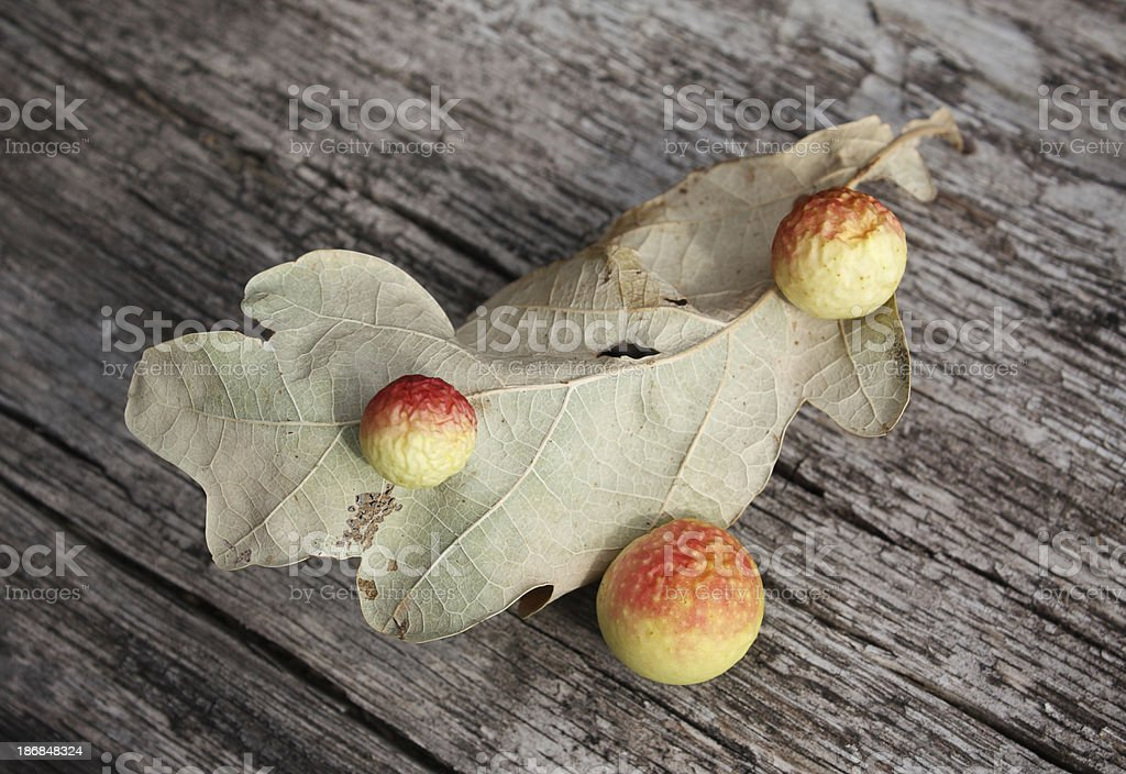 Oak gall royalty-free stock photo