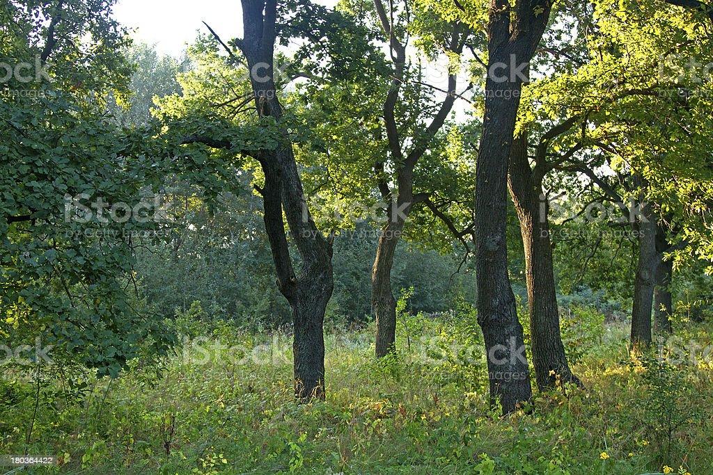 oak grove royalty-free stock photo