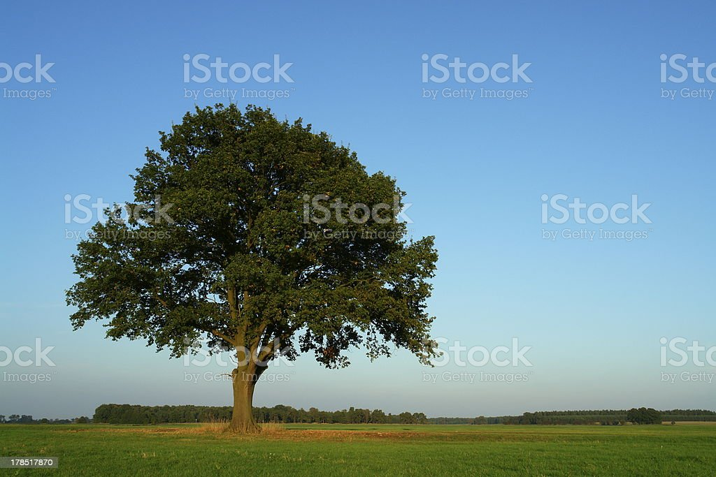 Oak In October royalty-free stock photo