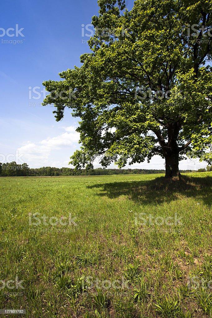 oak in the field royalty-free stock photo
