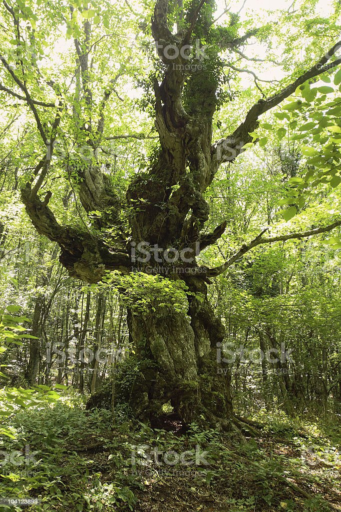 Oak in the forest royalty-free stock photo