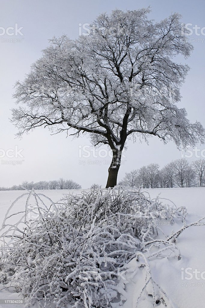 Oak in the Snow stock photo