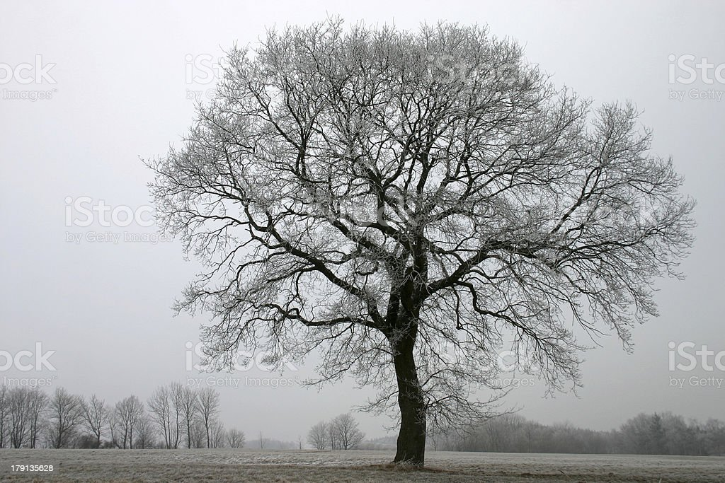 Oak in winter royalty-free stock photo