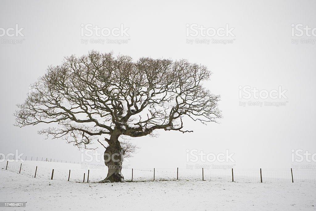 Oak In Winter Snow royalty-free stock photo
