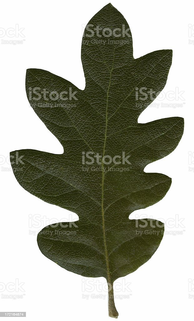 Oak Leaf clipped out royalty-free stock photo