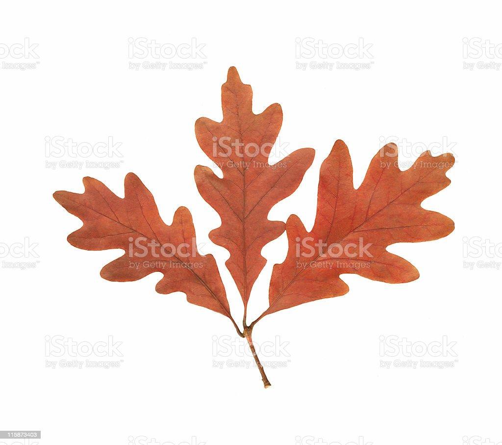 Oak Leaf Cluster royalty-free stock photo