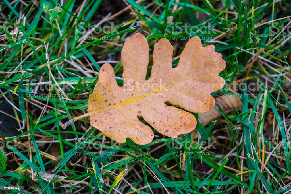 Oak leaf. Colors of autumn forest stock photo