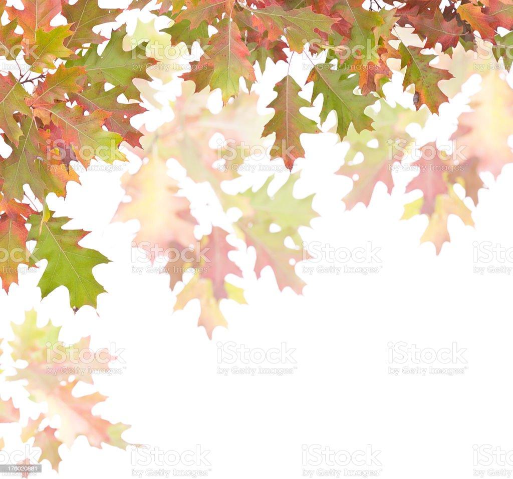 Oak Leaf Frame stock photo
