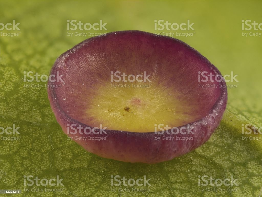 Oak Leaf Gall stock photo