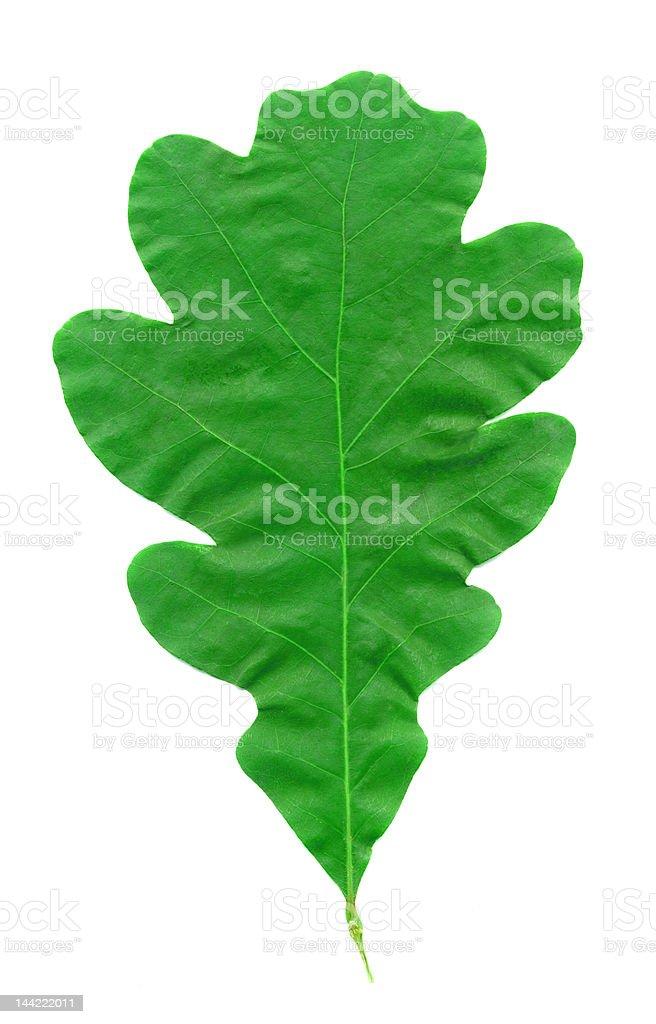 Oak Leaf in Summer royalty-free stock photo