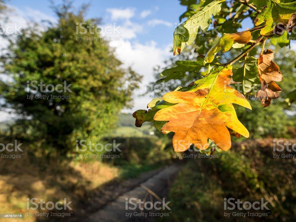 Oak leaf in the autumn stock photo