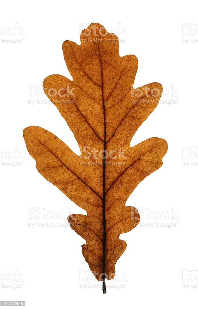 Oak Leaf Isolated on White royalty-free stock photo