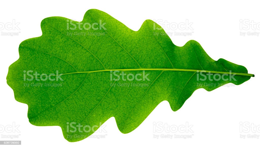 Oak leaf isolated stock photo