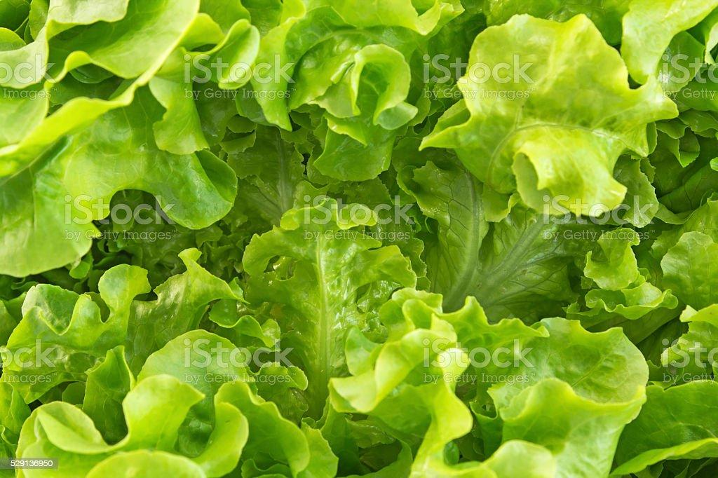 Oak leaf lettuce closeup as background stock photo