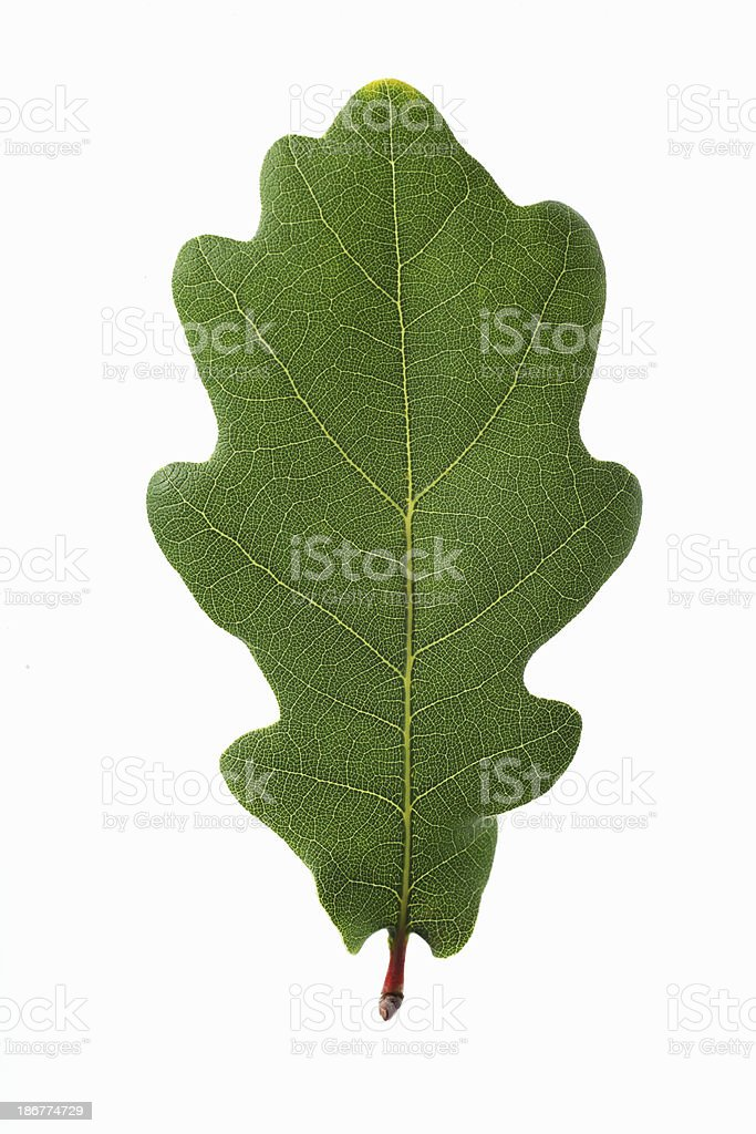 Oak leaf on white background. stock photo