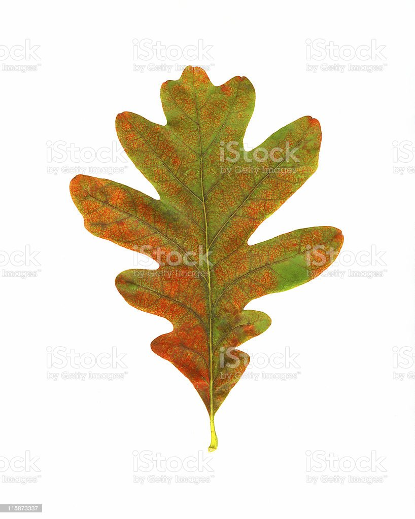 Oak Leaf stock photo