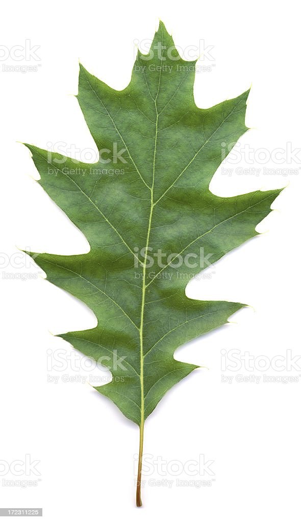 XXL Oak leaf royalty-free stock photo
