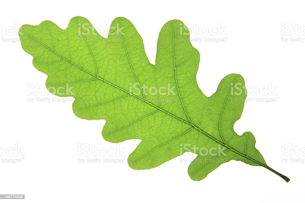 Oak leaf (Quercus robur) stock photo
