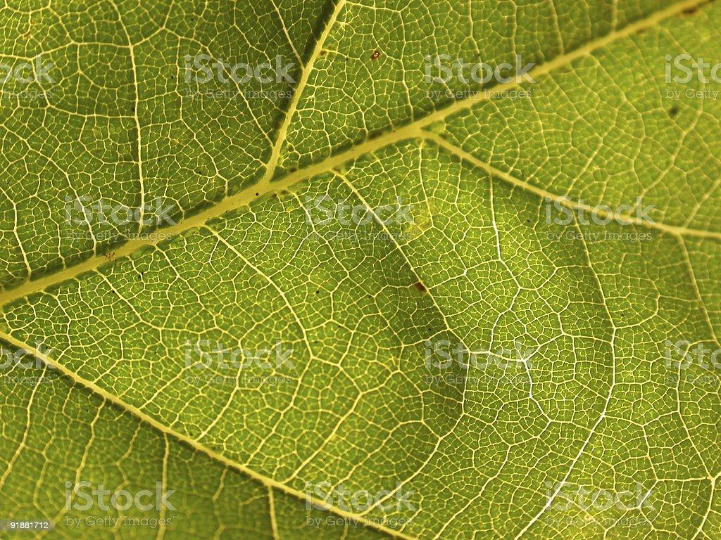 Oak Leaf royalty-free stock photo